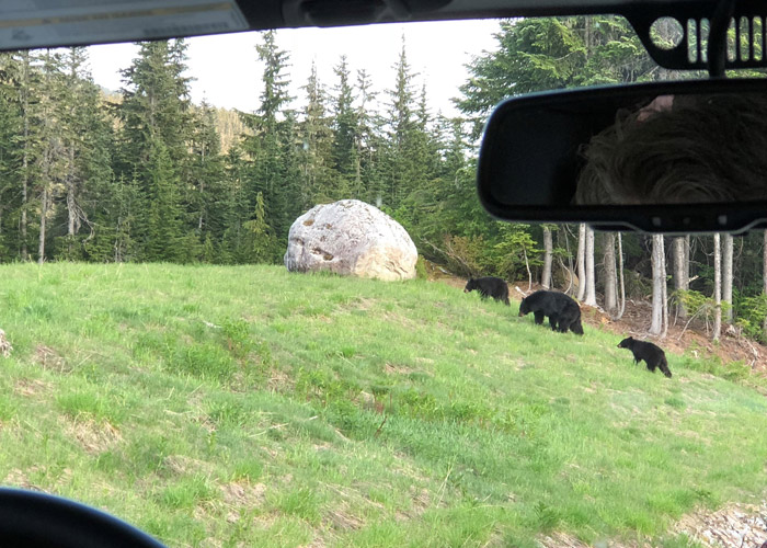 A mama bear and her cubs seen from the Jeep